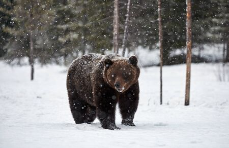 beautiful brown bear walking in the snow in Finland while descending a heavy snowfall