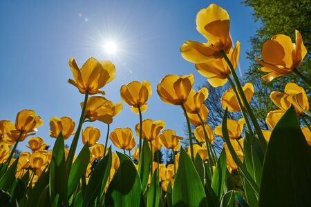 Beautiful yellow tulips photographed in backlight from below.