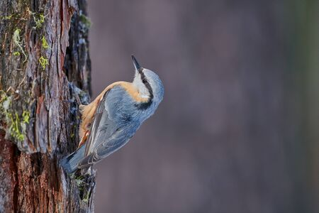 Nuthatch perched on a log of larch in the Swiss Alps