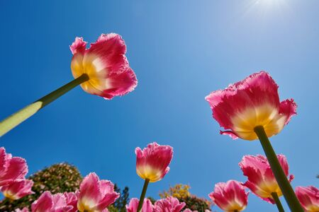 Beautiful tulips photographed in full bloom. Tulips photographed from below with the blue sky as the background.
