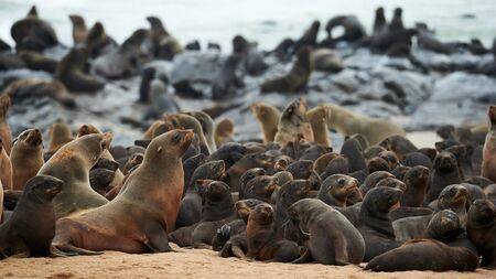 Great colony of Cape fur seals (Arctocephalus pusillus) fur at Cape cross in Namibia 版權商用圖片