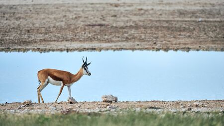 In Namibia a beautiful male springbok, Antidorcas marsupialis, an African antelope grazing free in a african park.