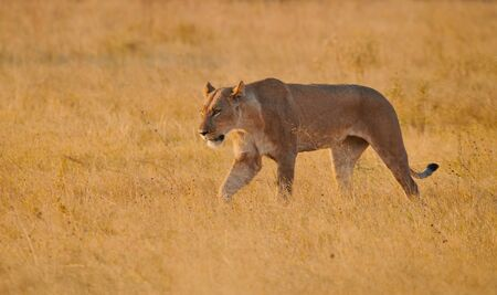 Lioness (Panthera leo) walks in the wild African savannah, illuminated by the light of the sunset.