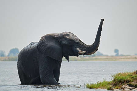 Elephant (Loxodonta africana) crosses the Chobe River in Botswana. 免版税图像