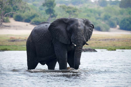 Elephant (Loxodonta africana) crosses the Chobe River in Botswana. 免版税图像