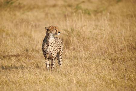 Beautiful cheetah, (Acinonix jubatus) walking in african savannah.