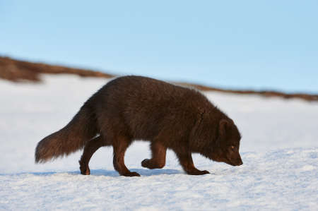 Blue arctic fox (Alopex lagopus) photographed in Iceland while walking in the snow.