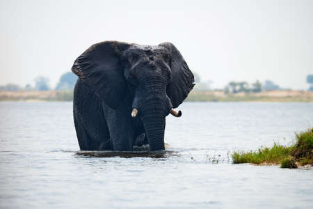 Elephant (Loxodonta africana) crosses the Chobe River in Botswana.