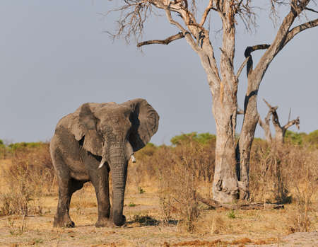 In Botswana a large elephant (LOxodonta africana) walks in the wild savannah. 免版税图像