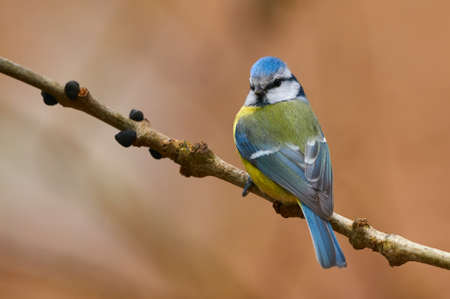 Beautiful blue tit (Cyanistes caeruleus) photographed in autumn on a small branch and a brown background. 免版税图像