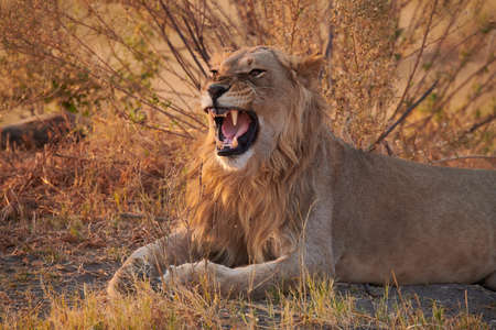 Beautiful male lion roaring in a African National Park.