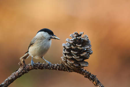 Beautiful Marsh Tit resting on a withered branch with awith a seed in its beak.