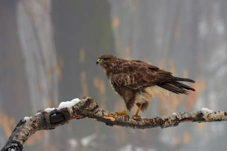 Common buzzard (Buteo buteo) is a bird of prey living in Europe, perched on a branch.