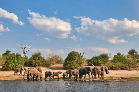 A herd of elephants goes to drink at the Chobe River in Botswana. 版權商用圖片