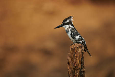 The pied kingfisher (Ceryle rudis) is a species kingfisher distributed in Africa and Asia. This photograph is taken on the Chobe river in Botswana. 版權商用圖片