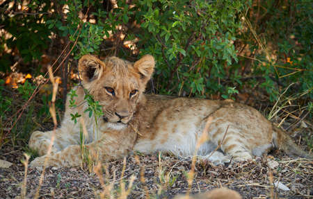 Little lion cub lying on the ground looks around.