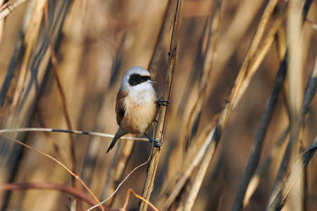 The passirine bird Eurasian Penduline tit (Ramirez pendulinus), in a reed. 版權商用圖片