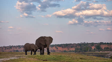 Under the immense sky of Botswana an elephant mother breastfeeds her baby.