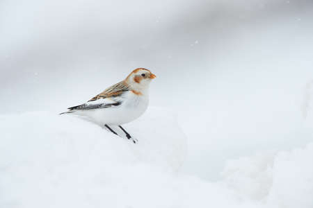 Snow bunting (Plectrophenax nivalis), a little bird photographed in winter looking for food in the snow