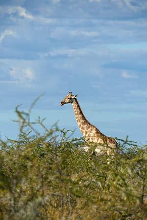 Beautiful giraffe (Giraffa camelopardalis) walking lonely in the Namibian bush. 版權商用圖片