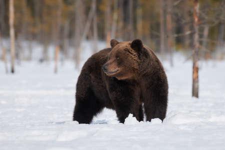 Brown Bear standing in the snow in spring awakening