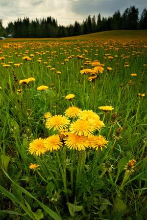 Beautiful field of dandelions in bloom in Finland