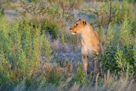Beautiful lioness, Panthera leo, looks around, sitting in the tall grass of the savannah.