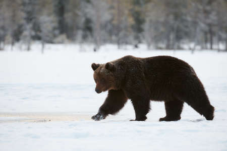 Beautiful brown bear walking in the snow in late winter. Photographed in Finland.