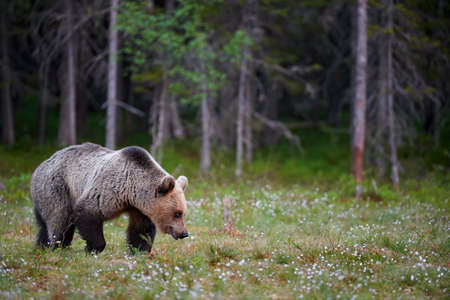 Brown bear (Ursus arctos) walking in a boreal forest in Finland