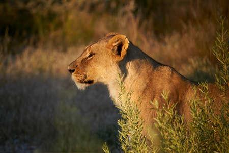 Beautiful lioness hidden in the African bush, ready to start hunting. 版權商用圖片