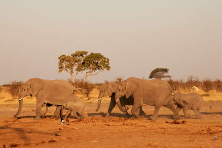 In the African savannah a herd of elephants (Loxodonta africana) walks to go to drink in a large waterhole.