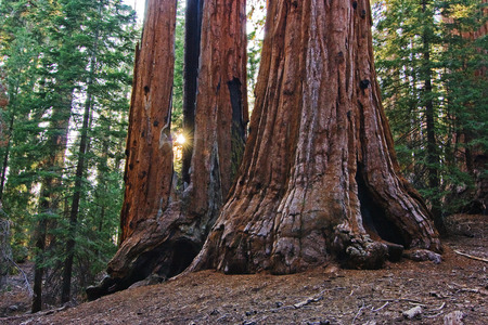 lighthing: SUN SETTING BETWEEN Giant Sequoias