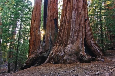 SUN SETTING BETWEEN Giant Sequoias