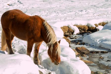 caballo bebe: caballo va beber a un arroyo de monta�a en la nieve