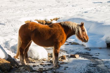 caballo bebe: caballo haflinger va potable a un arroyo de monta�a en la nieve Foto de archivo