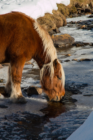 horse drinks in a frosty mountain creek italian alps photo