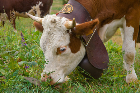 flowery: cow with big bell eating grass in a flowery meadow Stock Photo