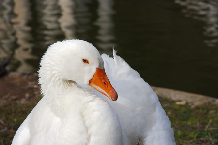 eyeing: portait of a white goose whith blue eyes resting on the grass near pond shore