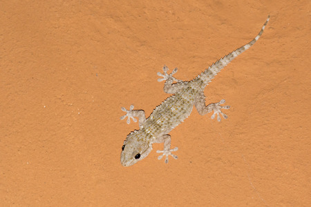 surface tension: Tarentola mauritanica, mediterranean gecko waiting for mosquitos on an orange ceiling