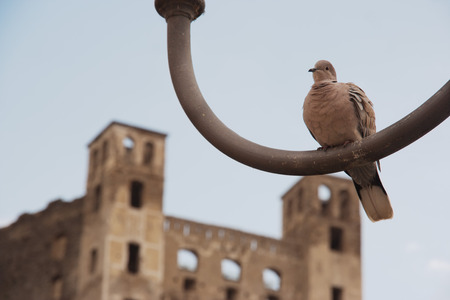 Eurasian collared dove, latin name Streptopelia decaocto, resting alone on an iron lamp ruined castle in background photo