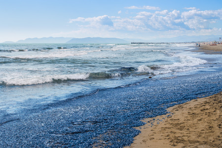beached: millions of death vellellas (sea raft, by-the-wind sailor, purple sail, little sail) beached in forte dei marmi versilia
