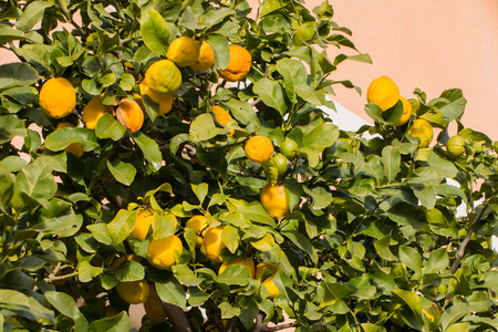 Lemon tree full of fruits in a sunny day photo