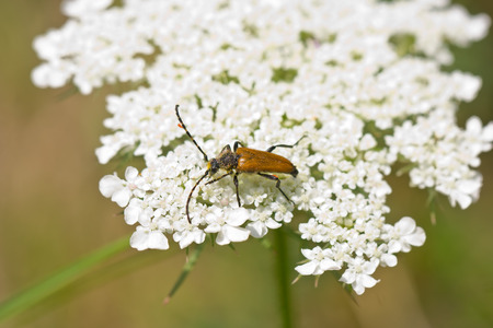 longhorn: Golden longhorn beetle covered by pollen on white flower in a sunny spring day