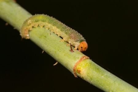 with orange and white body: Larva of a sawfly Allantus  on a rose stem. Colorful insect with light green body orange head white spots black background