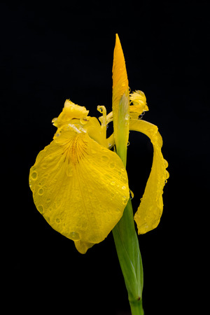 water s edge: yellow iris Iris pseudacorus with some water drops  after the rain isolated on black background Stock Photo