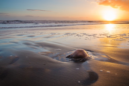 beached: Barrel jellyfish Rhizostoma pulmo beached sun setting in the background