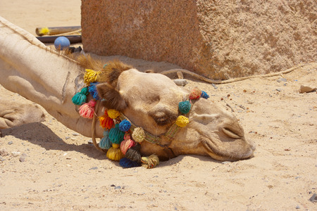 trimmings: Portrait of a dromedary camel with colorful trimmings tired sleeping with head lying on the ground Stock Photo