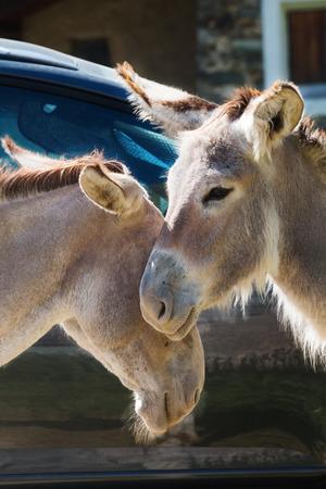 cuddles: Portrait of a couple of donkeys do cuddles  outside Stock Photo