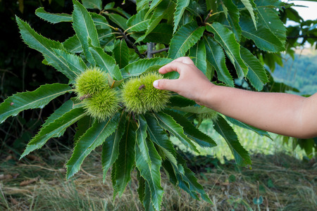 bur: child hand touching spiny chestnut bur in late summer
