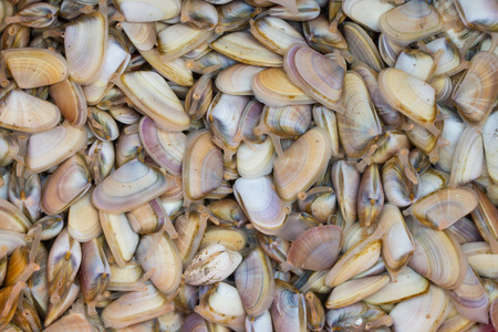 abrupt: a lot of Abrupt Wedge Shells in a container full of sea water after the harvest